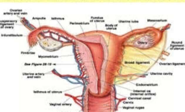 sitem reproduksi wanita