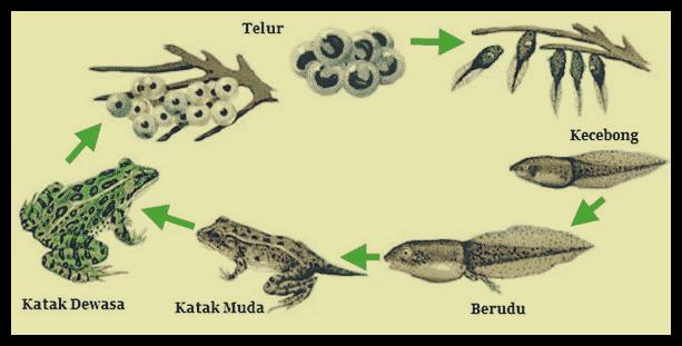 daur-hidup-katak
